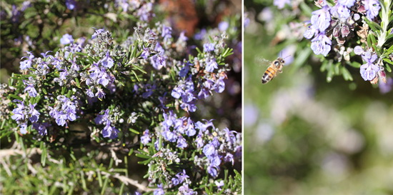 Rosemary with Bee