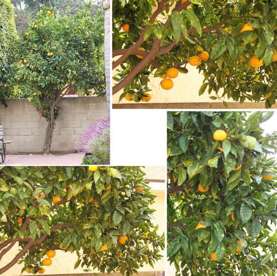 Lynne's Orange Tree