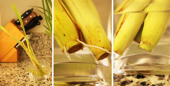 Lemongrass and its new roots!