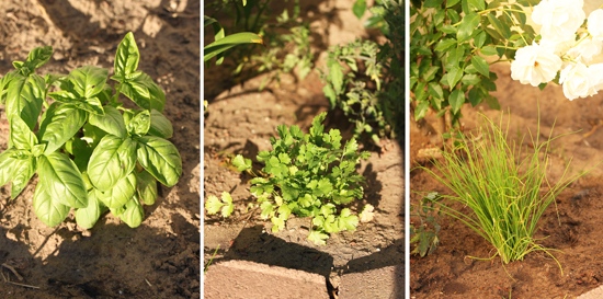 Basil, Cilantro and Chives