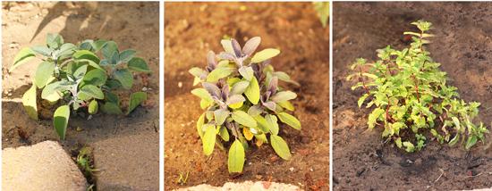 Sage, Purple Sage and Mint